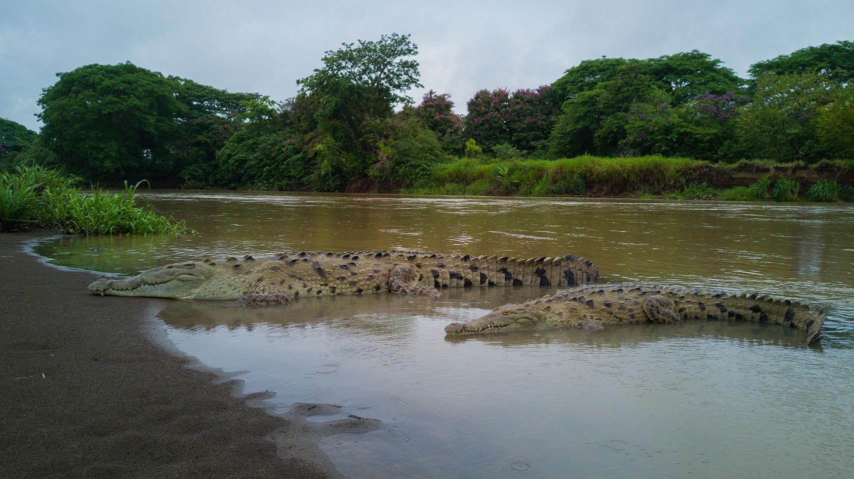 Sharp-mouthed Crocodiles - Costa Rica