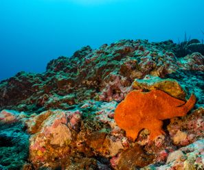 Frogfish - Costa Rica