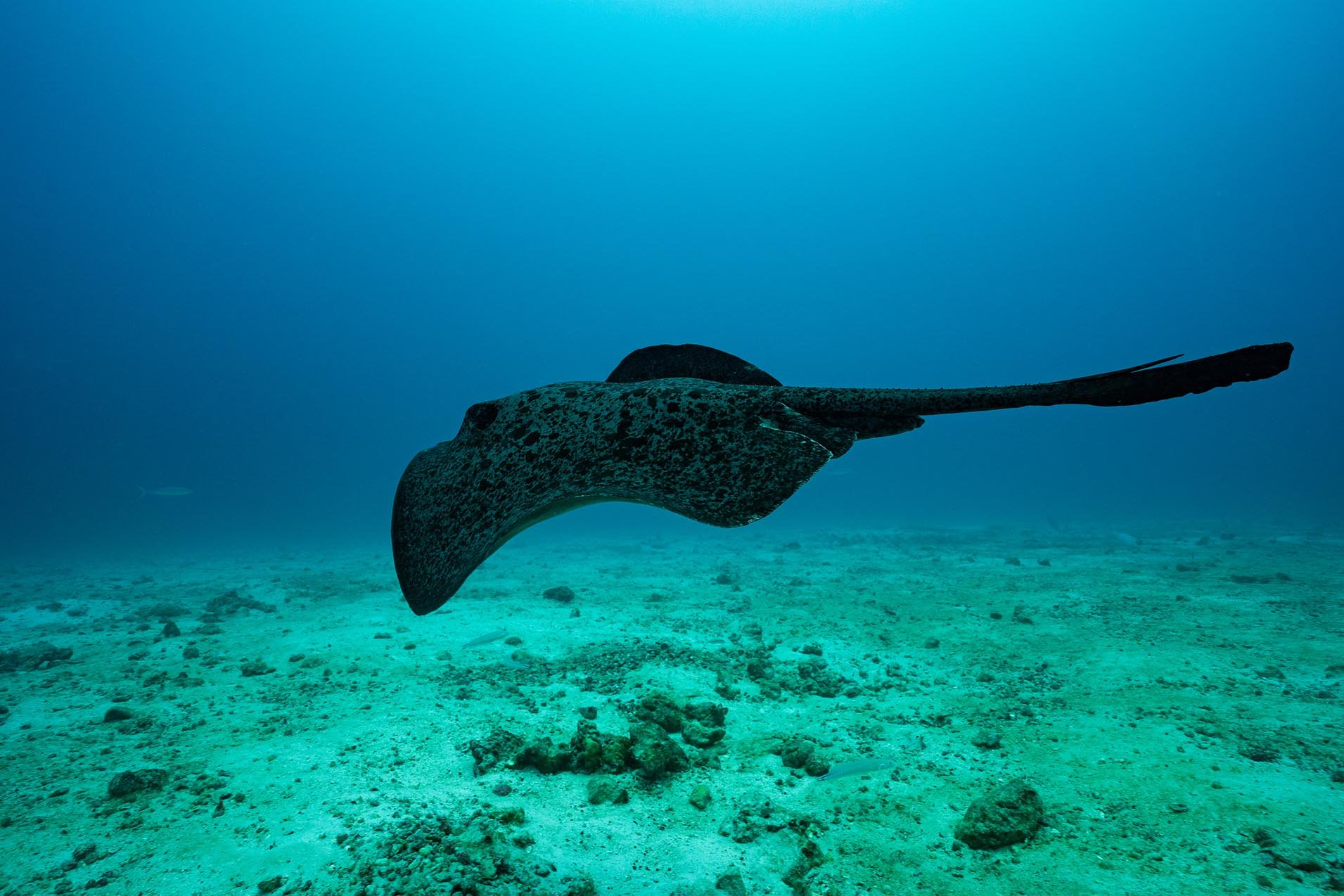 Marbled Ray - Costa Rica
